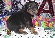 U kc Reg, Doberman Pinscher puppies for sale