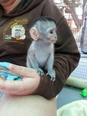 BDD Pairs Capuchin pygmy marmoset available 07031956739
